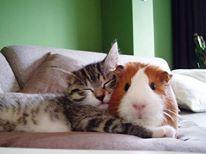 kot i świnka